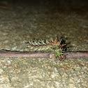 Question Mark Caterpillar