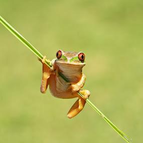 Forest Tree Frog by David Knox-Whitehead - Animals Amphibians ( macro, red eyes, frog, tree frog, amphibian,  )