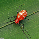 Red and Silver Dewdrop Spider