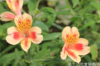 Photo: 拍攝地點: 梅峰-溫帶花卉區 拍攝植物: 百合水仙 拍攝日期: 2015_10_27_FY