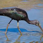 Morito común (Glossy ibis)