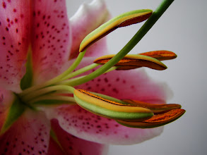 Photo: My homegrown lillies spring 2011