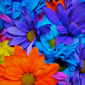 A Colorful Batch of Daisies.jpg