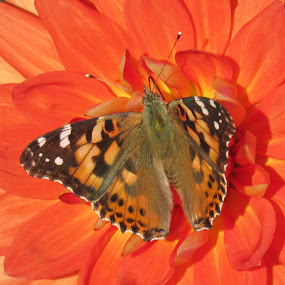 Painted Lady On An Orange Dahlia by Lynne Miller - Animals Insects & Spiders ( lynne miller, orange, painted lady butterfly, maine, alfred, dahlia, orange dahlia )