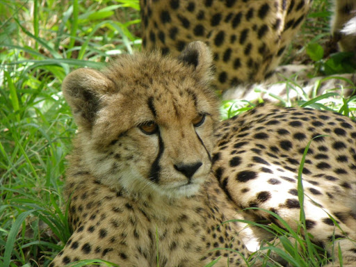 Cheetah cubs. File picture