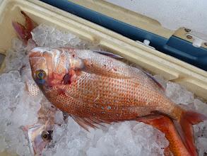 Photo: 真鯛キャッチ。 釣り針、飲み込んでました。