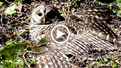 Video: Barred Owl stretched out enjoying the morning sun.