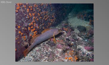 Photo: Kelp green ling (adult female)