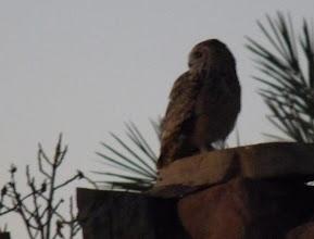 Photo: Gufo reale del deserto - Bubo ascalaphus - Pharaoh Eagle Owl