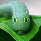 Vine Hawk Moth
