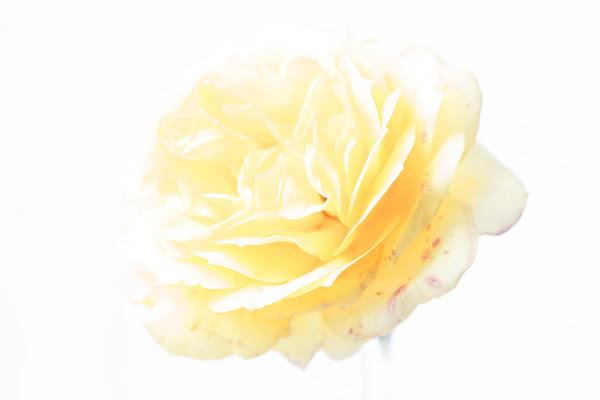 Una Rosa gialla si perde nella luce intensa.... di Cperso