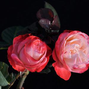 ROSE - NOSTALGIA Twin.jpg