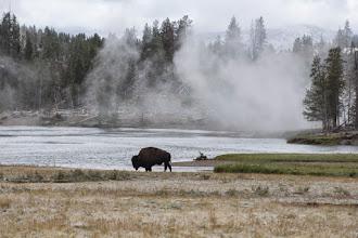 Photo: Lone bison