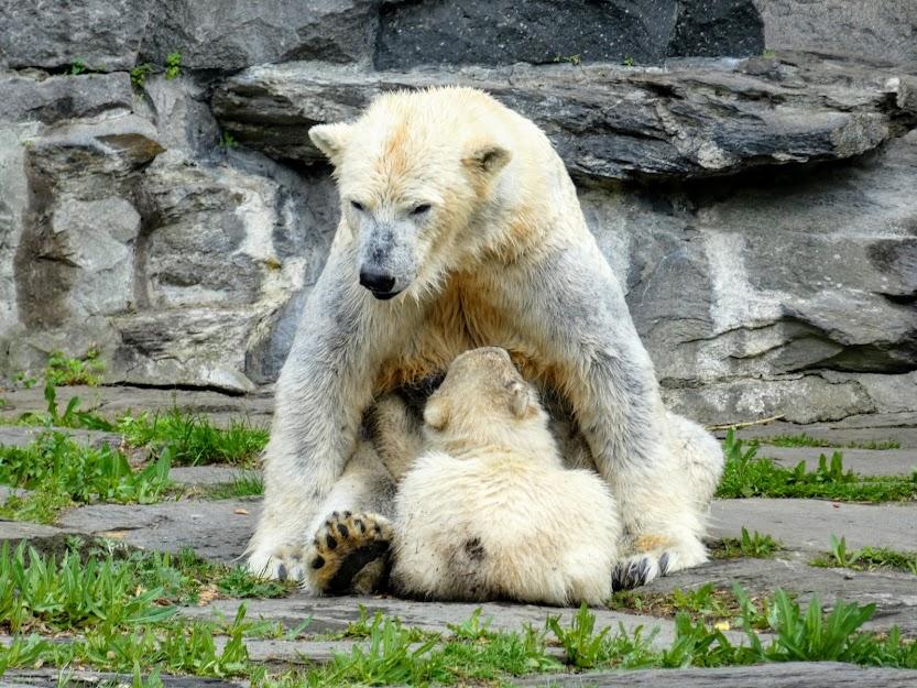 Niedźwiedzica polarna karmiąca małode