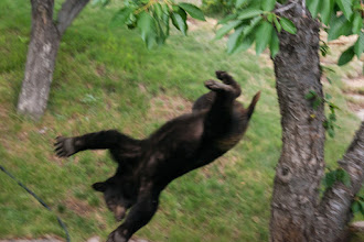 Photo: Bear falling from tree about 12 minutes after being shot with tranquilizer.