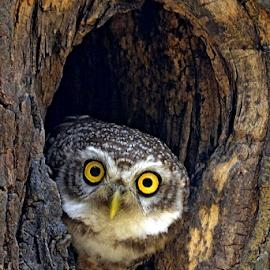 Spotted Owlet by Arindam Chakrabarty - Animals Birds ( bird, bird of prey )