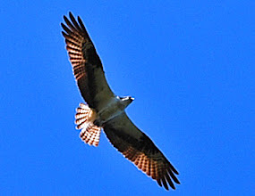 Photo: Osprey