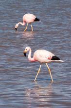 Photo: Andean Flamingo (Andenflamingo); Puna, ARG