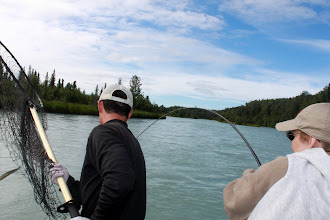 Photo: About to put the net on a Kasilof river King salmon.