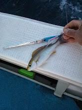Photo: 最初の獲物は「イサキ」。しかもスレ。 ・・・このゴツ指は誰でしょうか?