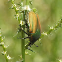 Figeater beetle / green fruit beetle/ fig beetle