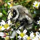 Mountain-Digger (bee)