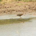 White- Faced Ibis