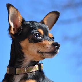 chihuahua Faith by Char Robertson - Animals - Dogs Puppies ( girl, cute, dog, chihuahua, black )