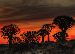 Photo: Quiver trees, Namibia