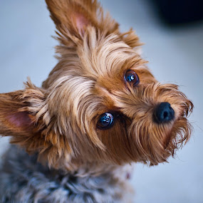 by Steve Forbes - Animals - Dogs Portraits ( yorkie, pet, puppy, cute, dog,  )