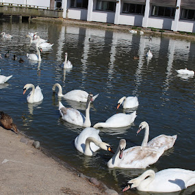 Swans and friends by Michelle Ng - Animals Birds ( lazy afternoon, sunshine, beauty in nature, sunny, birds, ducks, swans, getting along,  )