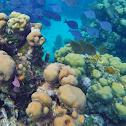 Coral de ojito
