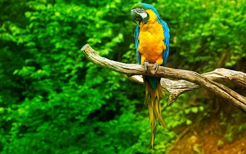 Parrot Live Wallpaper- screenshot thumbnail