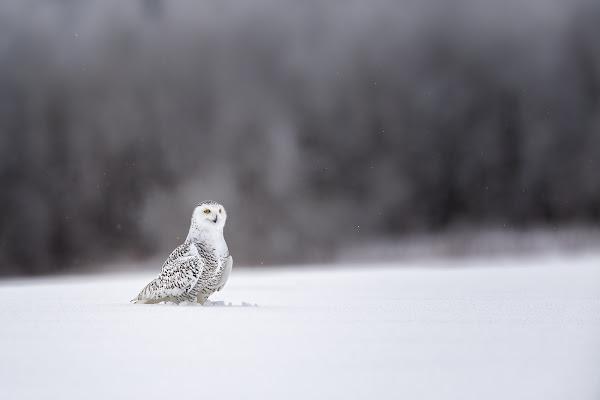 Civetta delle nevi di Mauro Rossi