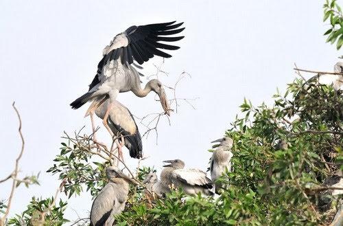 Vườn quốc gia Tràm Chim, lần đầu cò ốc làm tổ 3
