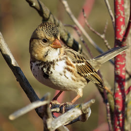 Harris's Sparrow  by Nick Swan - Animals Birds ( nature, bird, harris's sparrow, wildlife )