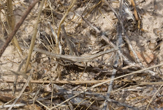 Photo: Fauna: Saltamartí (Truxalis nasuta).