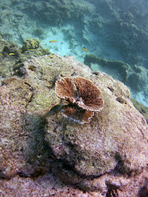 """Photo: A small specimen A. palmata at about 2 m depth in the Recreational Zone of the Barbados MPA. It is one of the two parent species for A. prolifera.  """"This species is structurally complex with many large branches. The coral structure closely resembles that of elk antlers. These branches create habitats for many other reef species, such as lobsters, parrot-fish, snapper shrimps and other reef fish...Historically, the majority of elkhorn coral reproduction has occurred asexually; this occurs when a branch of the coral breaks off and attaches to the substrate, forming a new colony, known as fragmentation.  -Elkhorn coral in Wikipedia, accessed 24 March 2015/"""