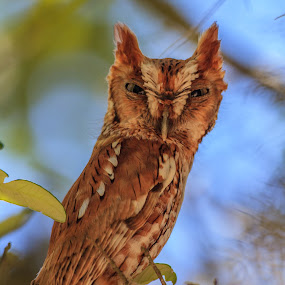 Eastern Screech Owl by Robert Strickland - Animals Birds ( screech owl, owl, birds )