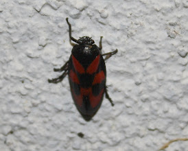 Photo: CERCOPIS VULNERATA