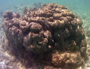 Photo: Lobular colony of Montastrea annularis in Reef Crest zone.