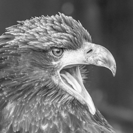 Young eagle by Garry Chisholm - Black & White Animals ( raptor, bird of prey, nature, bald eagle, garry chisholm )