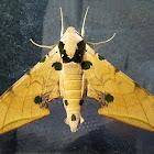 Ochreous Gliding Hawkmoth