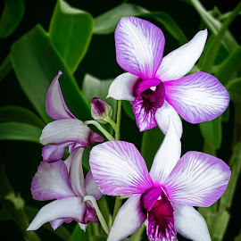 Magenta and White Dendrobium 2 by Joseph Vittek - Digital Art Things ( plant, magenta, orchid, dendrobium, green, white, leaves, flower,  )