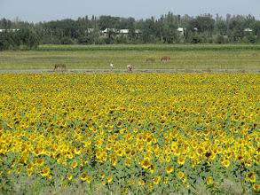 Photo: Day 166 - Sunflowers