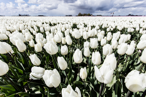 White tulips flower gardens flowers pixoto white tulips by merina tjen lim flowers flower gardens field bulb mightylinksfo