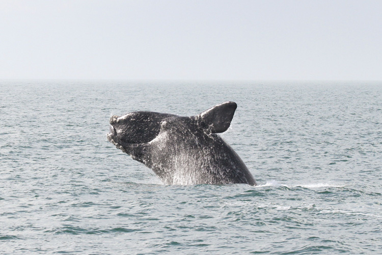 Are Recent North Atlantic Right Whale Deaths a Sign of Certain Extinction?