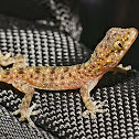 Spotted house gekko