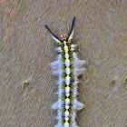 Rose-Myrtle Lappet Moth Caterpillar