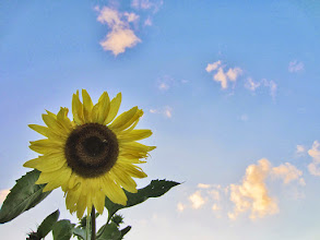 Photo: Sunflower against a sunset sky at Cox Arboretum and Gardens of Five Rivers Metroparks in Dayton, Ohio.